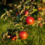 apples-346121_1920