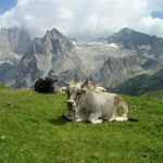 cow-175193_640