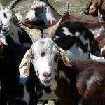 goat-279449_640