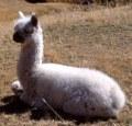 alpaca_peru_ar2