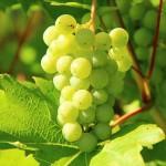 grape 1