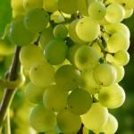 grapes-9218_640